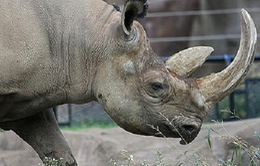 Bắt giữ hơn 5kg sừng tê giác qua đường hàng không