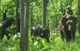 Thả voi rừng dính bẫy về môi trường tự nhiên
