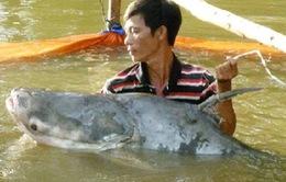 Bắt được cá tra dầu nặng 63kg trên sông Tiền