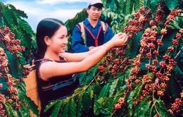 Kiến nghị mua tạm trữ 300.000 tấn cà phê
