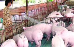 Thương lái Trung Quốc mua gom lợn nhiều mỡ bất thường