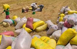 Kết thúc đợt thu mua tạm trữ lúa gạo vụ Hè Thu