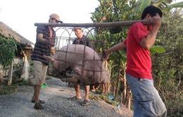 Ồ ạt gom lợn mỡ bán sang Trung Quốc