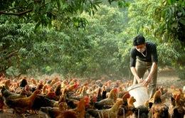 Bắc Giang đầu tư 18 tỷ đồng sản xuất giống gà Yên Thế