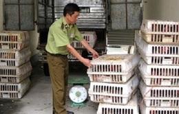 Bắt 30.000 con giống gia cầm nhập lậu