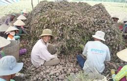 Trà Vinh: Trồng khoai lang tím Nhật lãi hơn 50 triệu đồng/ha