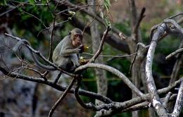 """Đàn khỉ """"lạ"""" ùa về khu dân cư dưới chân núi Nhạn"""