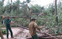 Hơn 20.000ha cao su bị gãy đổ vì bão
