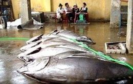 Sẽ có chợ đấu giá cá ngừ
