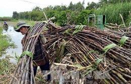 Hơn 100 vụ cháy mía với diện tích 135 ha ở Tây Ninh