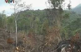 """Phú Yên: Lâm tặc ngang nhiên """"xẻ thịt"""" rừng, hầm than"""