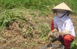 Nhiều nông dân nghèo bị lừa vì cả tin thương lái