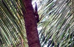 Sóc hoang cắn phá vườn dừa và ca cao