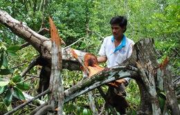 """Ngang nhiên """"xẻ thịt"""" rừng ở khu Ramsar Mũi Cà Mau"""