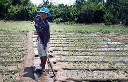 An Giang: Xuống giống trên 20.300 ha rau màu phục vụ Tết Giáp Ngọ
