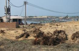 Quảng Nam: Tăng cường xử lý nuôi tôm thẻ chân trắng trên cát trái phép