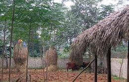 Phú Thọ chủ động phòng chống rét cho đàn gia súc