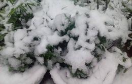 Hình ảnh tuyết đầu mùa trắng xóa Sa Pa