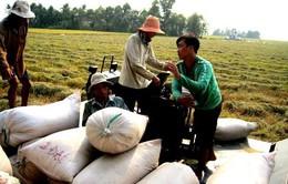 Giá gạo Việt Nam vượt Thái Lan