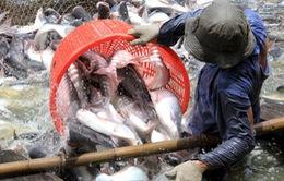 Chậm ban hành Nghị định về cá tra