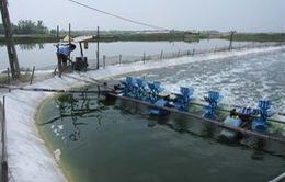 Khánh Hòa cấm nuôi tôm lót bạt trên cát