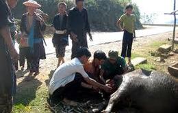 Lào Cai: Đã có 444 con gia súc bị chết rét