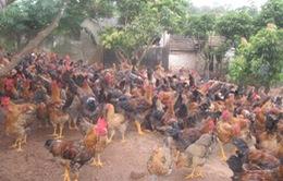Hơn 4 triệu gà đồi cho thị trường Hà Nội dịp Tết