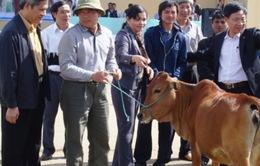Trao 150 con bò giống sinh sản cho hộ nghèo Kon Tum