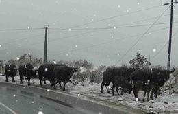 Hàng nghìn gia súc đã chết vì rét đậm, rét hại