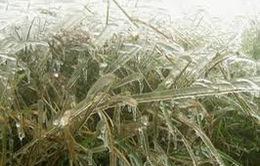 Sương muối lại gây thiệt hại nặng cho Sơn La