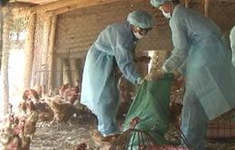 Tây Ninh: Tiêu hủy thêm ổ cúm gia cầm mới