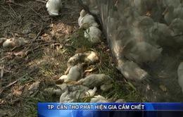 TP Cần Thơ: Người chăn nuôi vứt xác gia cầm chết và giấu dịch