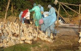 Quảng Nam: Gần 4 triệu con gia cầm chưa tiêm vaccine phòng bệnh cúm