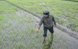 Rét đậm gây hại hàng chục nghìn ha lúa đông xuân