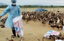 Dịch cúm gia cầm lan ra 16 tỉnh, thành phố