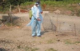 Trà Vinh phát hiện ổ dịch cúm gia cầm đầu tiên