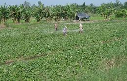 Bất thường việc thương lái Trung Quốc thu mua lá khoai lang số lượng lớn