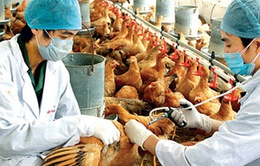 Quảng Ngãi: Lo thiếu vaccine gia cầm