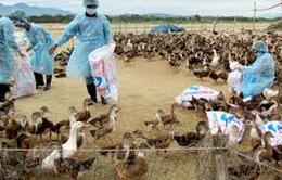 Ổ dịch cúm gia cầm gia tăng lên 77
