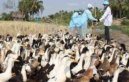 Hải Dương chính thức công bố dịch cúm gia cầm