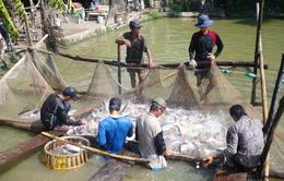 Thêm 3 trang trại cá tra được chứng nhận GlobalGap/ASC