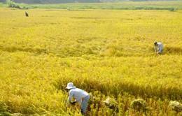 An Giang mở rộng diện tích cánh đồng mẫu