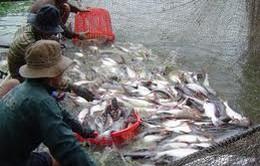 Doanh nghiệp thủy sản lỡ cơ hội tăng xuất khẩu cá tra
