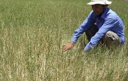 Phú Yên: Có ít nhất 3.500ha cây trồng thiếu nước tưới
