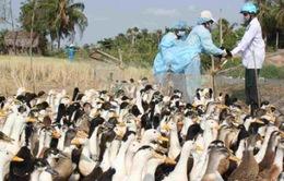 Dịch cúm gia cầm A/H5N1 có dấu hiệu giảm