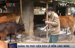 Phát hiện ổ dịch lở mồm long móng tại Lao Bảo, Quảng Trị