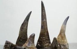 Phát hiện 5 chiếc sừng tê giác châu Phi nhập khẩu trái phép
