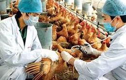 11 tỉnh đã hết dịch cúm gia cầm