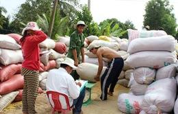 ĐBSCL: Thị trường lúa gạo chuyển biến tích cực sau chủ trương thu mua tạm trữ