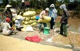 Giá lúa gạo trong nước đang tăng khoảng 100 đồng/kg